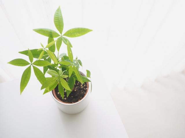 室内のおすすめ観葉植物3選!初心者にも育てやすいグリーンを専門店が厳選